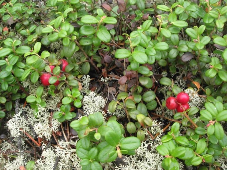 Wild Cranberry image